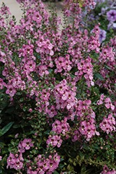 Archangel™ Orchid Pink Angelonia (Angelonia angustifolia 'Archangel Orchid Pink') at Rainbow Gardens