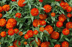 Zahara® Double Fire Zinnia (Zinnia 'Zahara Double Fire') at Rainbow Gardens