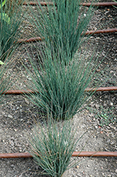 Blue Dart Rush (Juncus tenuis 'Blue Dart') at Rainbow Gardens