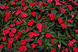 SunPatiens® Spreading Scarlet Red New Guinea Impatiens (Impatiens 'SunPatiens Spreading Scarlet Red') at Rainbow Gardens