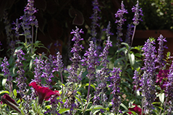 Sallyfun Blue Salvia (Salvia farinacea 'Sallyfun Blue') at Rainbow Gardens