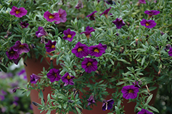 Kabloom™ Deep Blue Calibrachoa (Calibrachoa 'Kabloom Deep Blue') at Rainbow Gardens