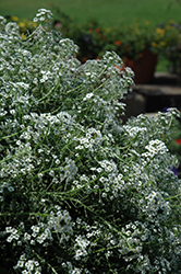 White Stream Sweet Alyssum (Lobularia maritima 'White Stream') at Rainbow Gardens
