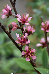 Red Gold Nectarine (Prunus persica 'Red Gold') at Rainbow Gardens