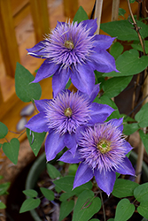 Multi Blue Clematis (Clematis 'Multi Blue') at Rainbow Gardens
