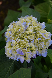 Nantucket Blue Hydrangea (Hydrangea macrophylla 'Grenan') at Rainbow Gardens