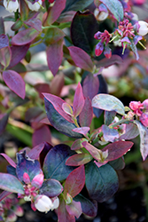 Pink Icing® Blueberry (Vaccinium 'ZF06-079') at Rainbow Gardens