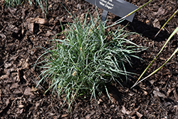 Blue Zinger Blue Sedge (Carex flacca 'Blue Zinger') at Rainbow Gardens