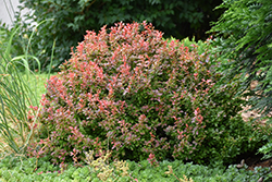 Admiration Japanese Barberry (Berberis thunbergii 'Admiration') at Rainbow Gardens