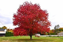 Red Maple (Acer rubrum) at Rainbow Gardens