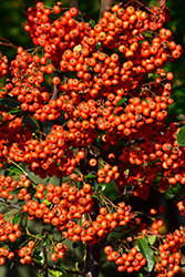 Mohave Firethorn (Pyracantha 'Mohave') at Rainbow Gardens