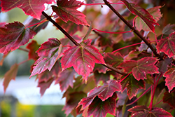 Brandywine Red Maple (Acer rubrum 'Brandywine') at Rainbow Gardens