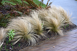 Mexican Feather Grass (Nassella tenuissima) at Rainbow Gardens