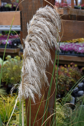 Ivory Feathers® Pampas Grass (Cortaderia selloana 'Pumila') at Rainbow Gardens