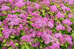 Magic Carpet Spirea (Spiraea x bumalda 'Magic Carpet') at Rainbow Gardens