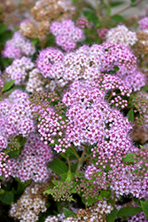 Little Princess Spirea (Spiraea japonica 'Little Princess') at Rainbow Gardens