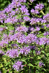 Blue Stocking Beebalm (Monarda didyma 'Blue Stocking') at Rainbow Gardens