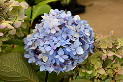 Blue Enchantress Hydrangea (Hydrangea macrophylla 'Monmar') at Rainbow Gardens