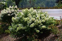 Little Lime® Hydrangea (Hydrangea paniculata 'Jane') at Rainbow Gardens