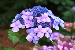 Twist-n-Shout® Hydrangea (Hydrangea macrophylla 'PIIHM-I') at Rainbow Gardens