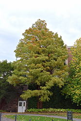 Baldcypress (Taxodium distichum) at Rainbow Gardens
