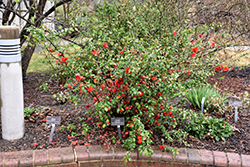 Double Take Orange™ Flowering Quince (Chaenomeles speciosa 'Double Take Orange Storm') at Rainbow Gardens
