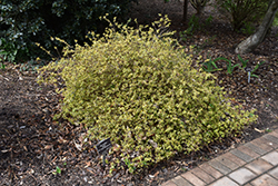Twist of Orange™ Glossy Abelia (Abelia x grandiflora 'Gretoo') at Rainbow Gardens