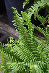 Sword Fern (Nephrolepis cordifolia) at Rainbow Gardens