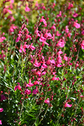 Pink Autumn Sage (Salvia greggii 'Pink') at Rainbow Gardens