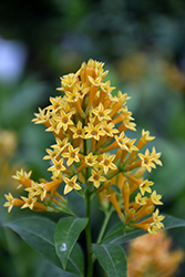 Orange Zest Jessamine (Cestrum aurantiacum 'Orange Zest') at Rainbow Gardens