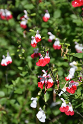 Hot Lips Sage (Salvia microphylla 'Hot Lips') at Rainbow Gardens