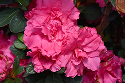 Bloom-A-Thon® Pink Double Azalea (Rhododendron 'RLH1-2P8') at Rainbow Gardens