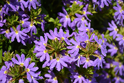 Whirlwind® Blue Fan Flower (Scaevola aemula 'Whirlwind Blue') at Rainbow Gardens