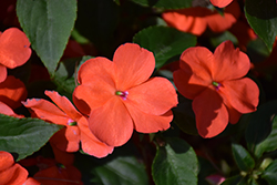 Beacon® Salmon Impatiens (Impatiens walleriana 'PAS1357835') at Rainbow Gardens